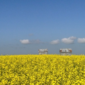 Blooming canola frames two old graineries