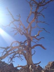Dead Joshua tree
